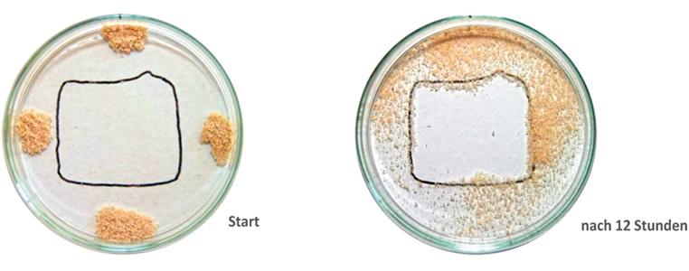 Effekt von Milbopax auf Milben anhand eines Zeitraffers